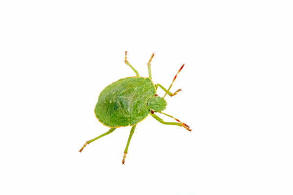 Green bug — preview