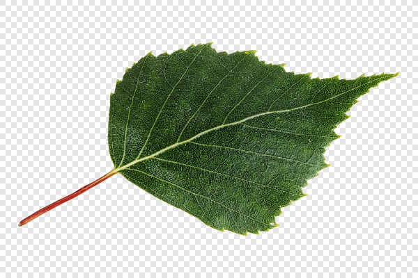 Birch leaf — preview