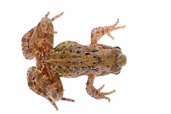Common frog (Rana temporaria) — preview