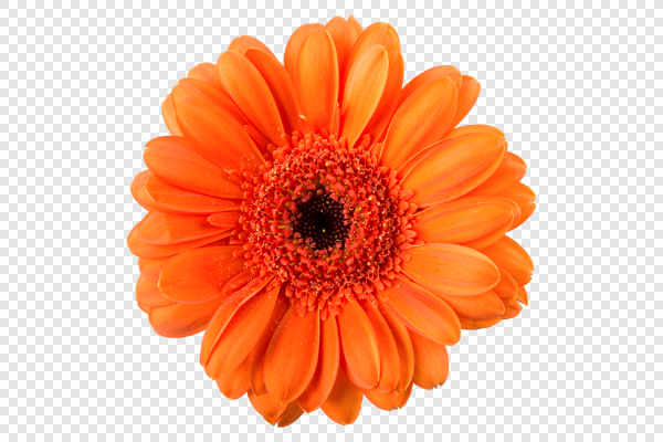 Orange gerber flower... — preview
