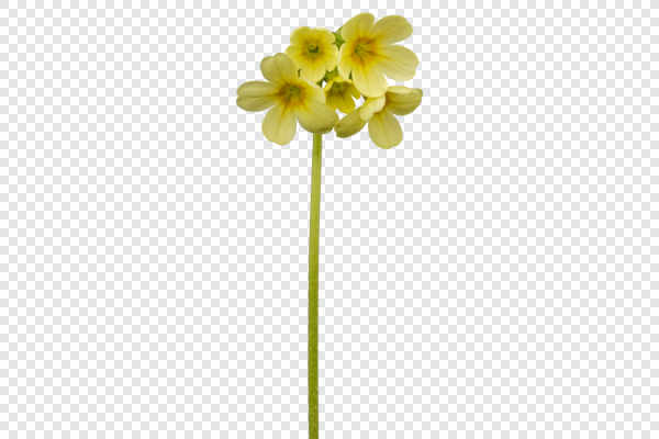 Yellow cowslip flower (Primula veris) — preview