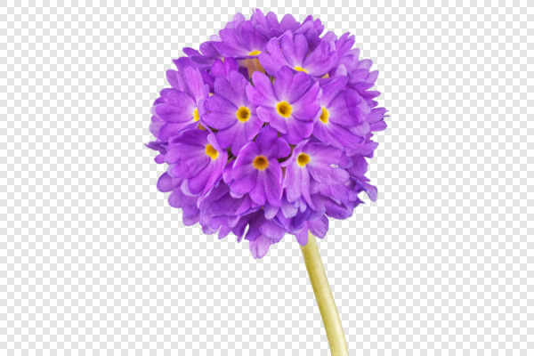 Violet cowslip flower — preview
