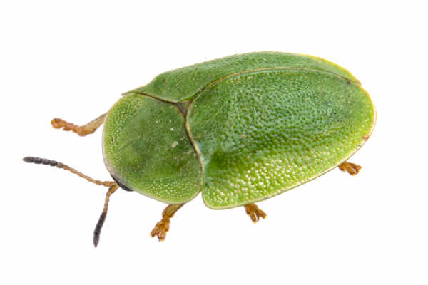 Leaf beetle (Cassida viridis) — preview