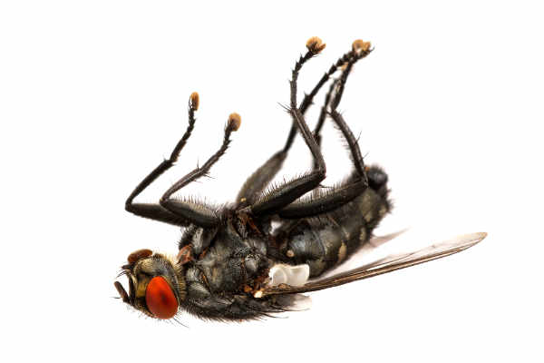 Deadly fly (Sarcophhagidae) — preview