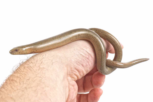 Slow worm (Anguis fragilis) on people hand — preview