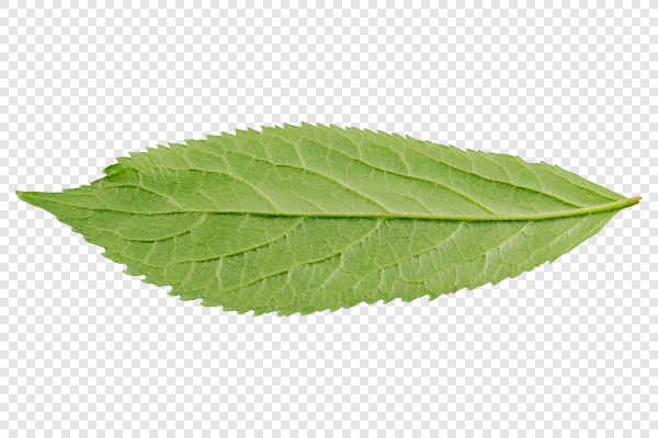 Underside of green leaf — preview