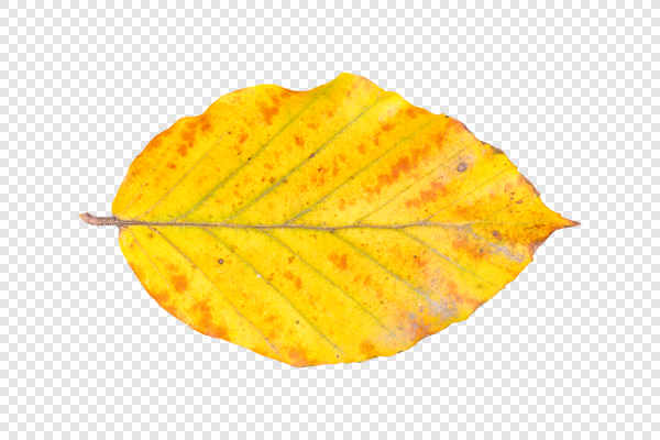 Beech leaf — preview