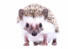 Four-toed hedgehog... — preview
