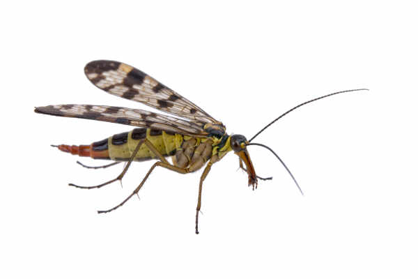 Scorpionfly (Panorpa... — preview