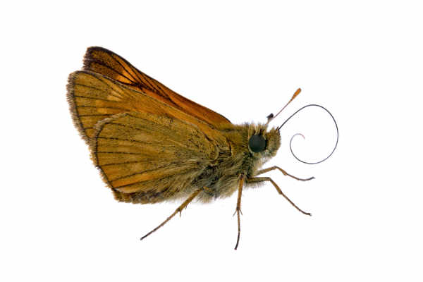 Large skipper (Ochlodes... — preview