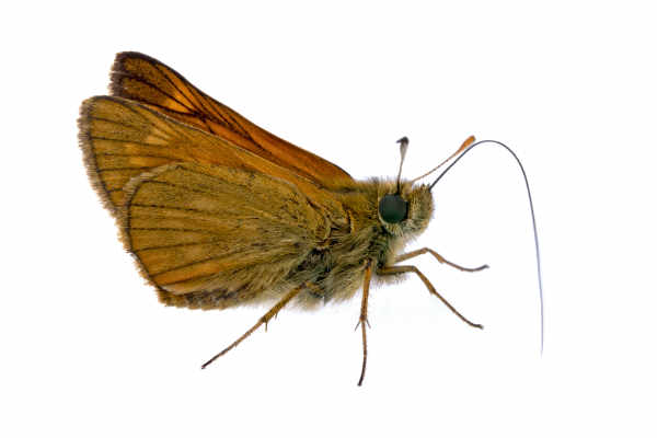 Large skipper (Ochlodes sylvanus) — preview