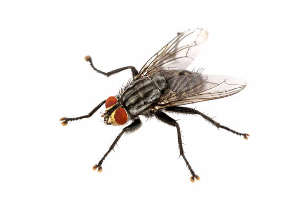 Black fly (Sarcophhagidae)... — preview