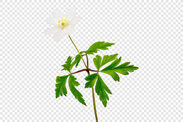 Windflower (Anemone... — preview