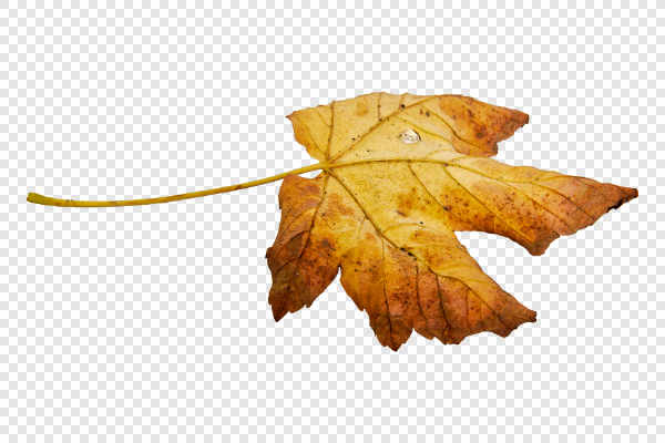 An old dry maple leaf... — preview