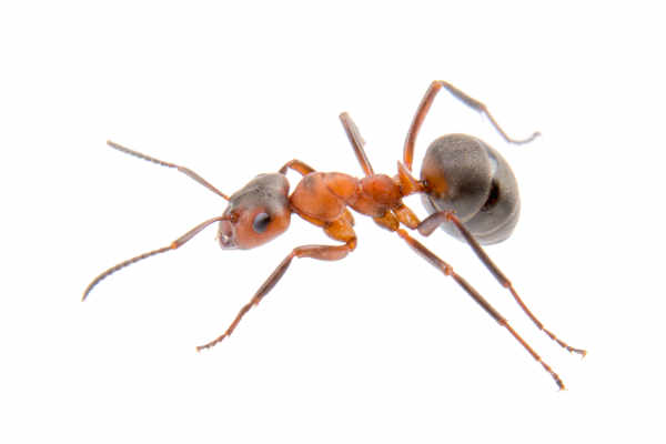 Brown ant (Formica) — preview