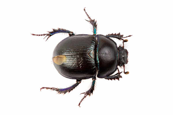 Beetle (Geotrupes stercorarius)... — preview