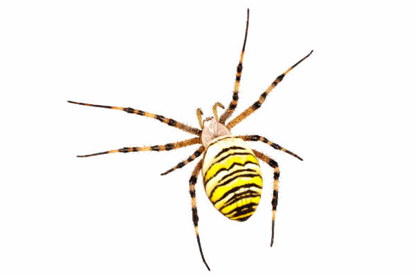 Wasp spider (Argiope... — preview
