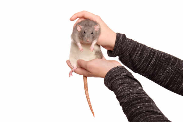 Hands of young woman with cute rat — preview