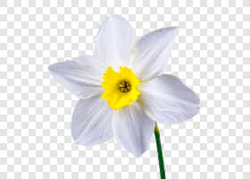 Daffodil flower — preview