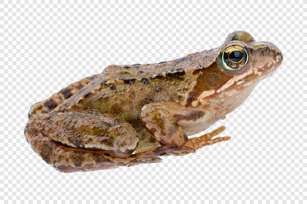 European common frog... — preview