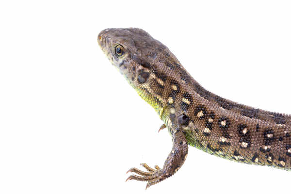 Lizard (Lacerta agilis)... — preview