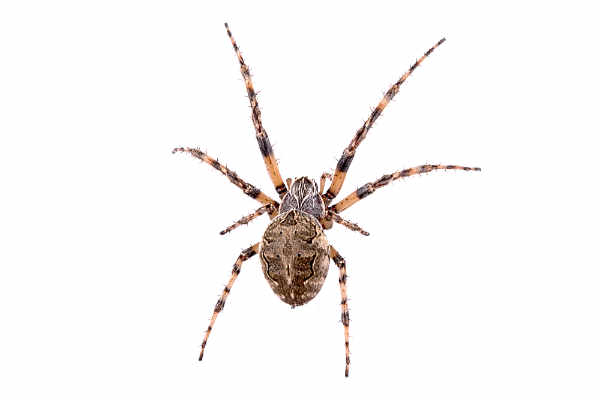 Spider (Araneus diadematus)... — preview