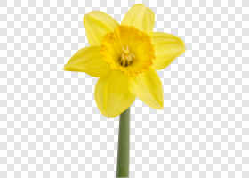 Yellow daffodil (Narcissus)... — preview