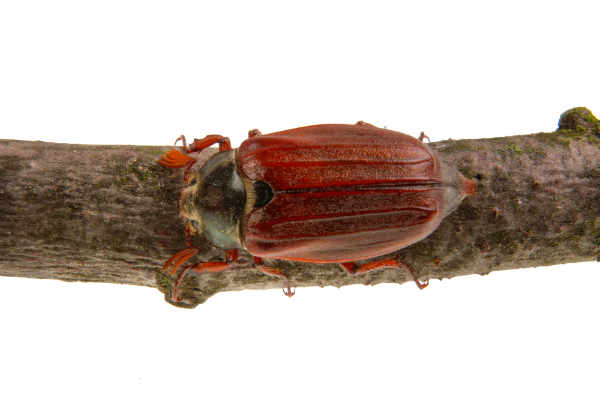 Cockchafer (Melolontha melolontha) — preview