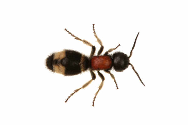 Parasitoid wasp (Mutilla... — preview