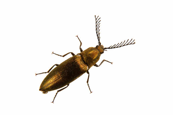 Click beetle (Ctenicera pectinicornis) — preview
