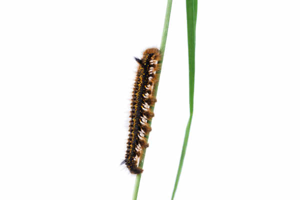 Caterpillar of Euthrix... — preview