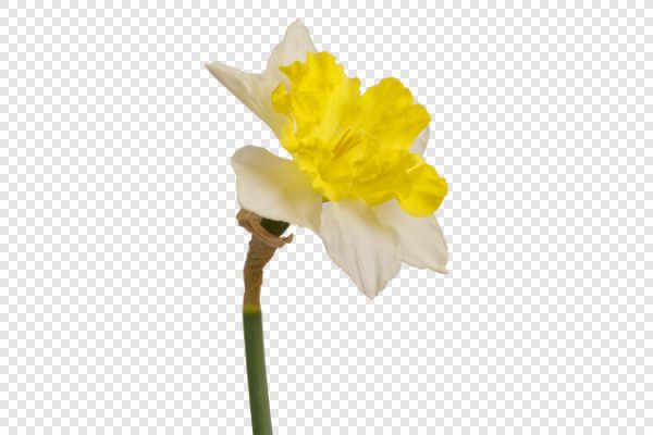 Yellow daffodil (Narcissus) — preview