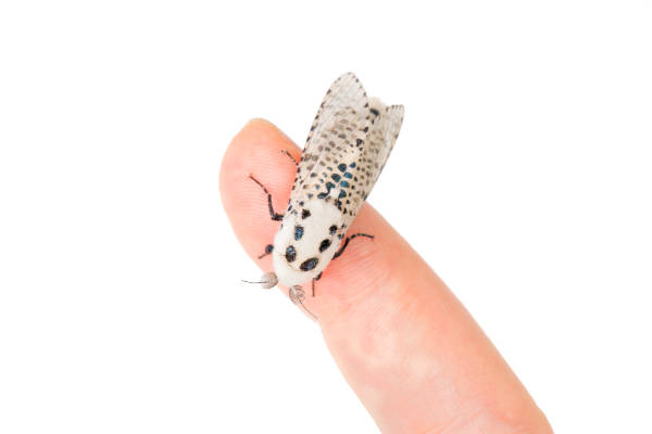 Wood leopard moth Zeuzera pyrina on a finger — preview