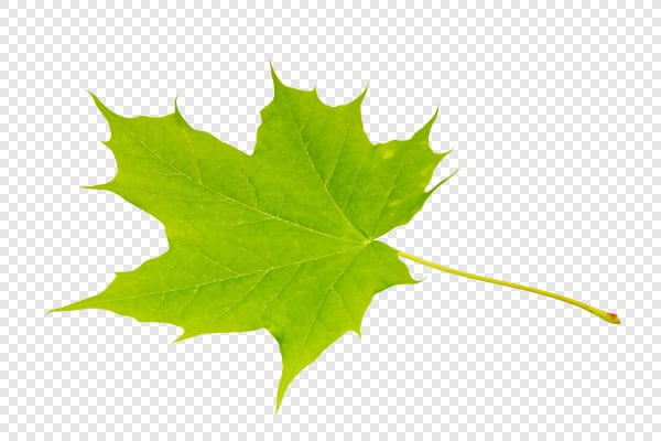 Green maple leaf — preview