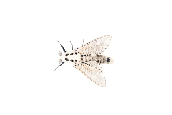 Wood leopard moth Zeuzera pyrina — preview
