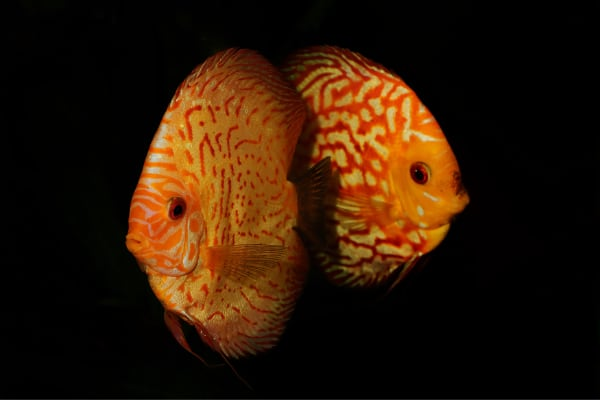 Discus fishes (Symphysodon)... — preview