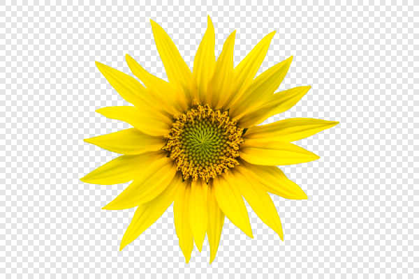 Sunflower — preview