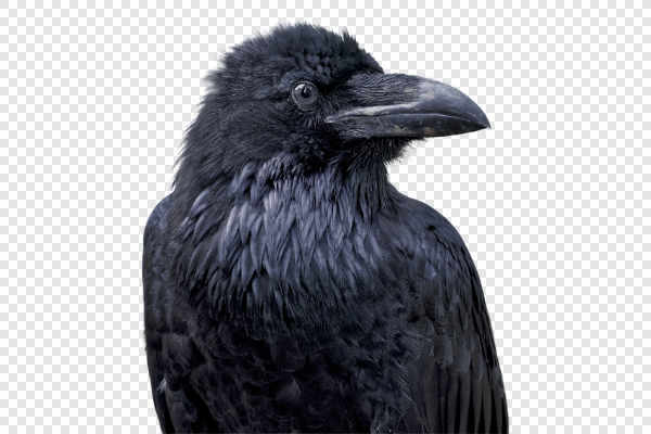 Portrait of Common raven (Corvus corax) — preview