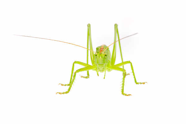 Green grasshopper — preview