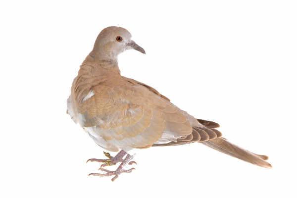 Eurasian collared dove (Streptopelia decaocto) — preview