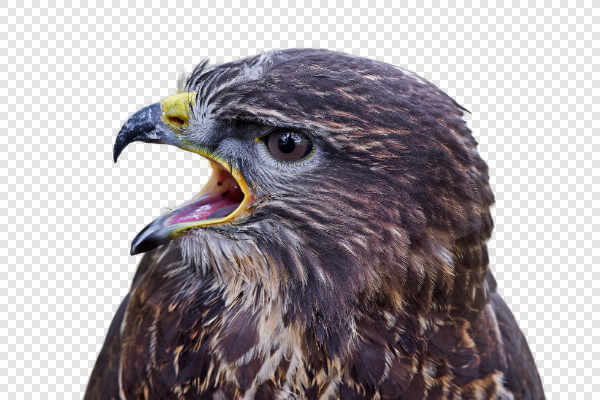 Common buzzard (Buteo buteo) — preview