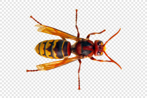 European hornet (Vespa... — preview