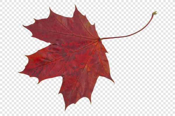 Red maple leaf — preview