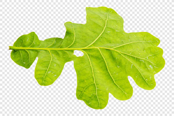 Underside of oak leaf... — preview