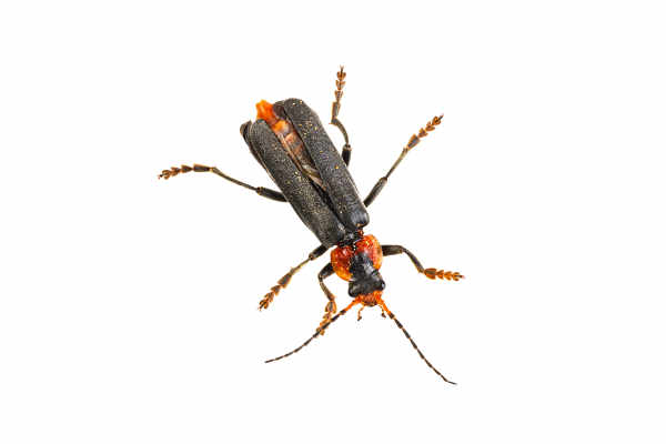 Soldier beetle — preview