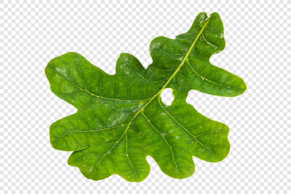 Green oak leaf — preview