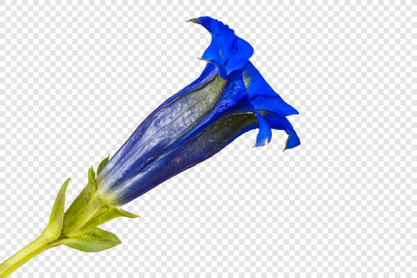 Gentiana flower — preview