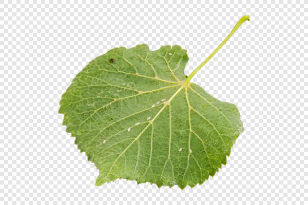 Underside linden leaf — preview