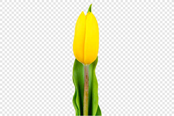 Yellow tulip — preview